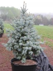 Picea pungens Glauca Misty Blue