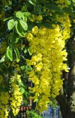 Бобовник Золотой Дождь цветы