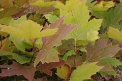 Платан Acerifolia