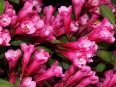 Вейгела цветущая Виктория / Victoria