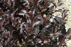 Вейгела Эльвера листья