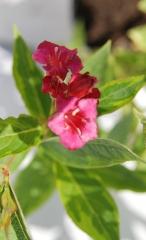Вейгела квітуча Брігела ®