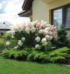 Вот такую 2-метровую красавицу можно вырастить у себя в саду при должном уходе и благоприятных условиях.