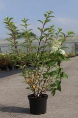 Hydrangea paniculata Vanilla Strawberry