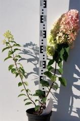 Hydrangea paniculata Renhy®