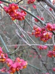 Полностью созревший плод Бересклета крылатого Compactus зимой. Такими оригинальными плодами обладают только бересклеты.