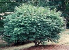Euonymus alatus Compactus