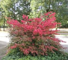 Euonymus Compactus к осени постепенно меняет цвет листвы с зелёной на ярко-красную.