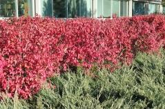 Стриженная живая изгородь из Бересклета Compactus
