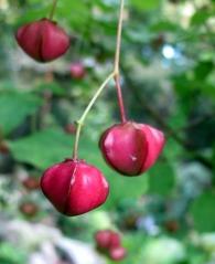 Бересклет Compactus. Плоды.