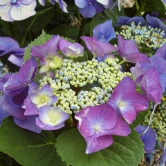 Hydrangea macrophylla Blue Sky