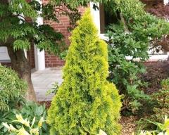 Thuja occidentalis Golden Smaragd