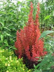 Berberis thunbergii Orange Rocket PBR/®
