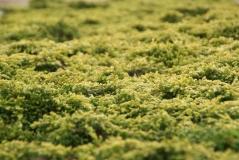 Можжевельник обыкновенный Голдшатц / Juniperus communis Goldschatz