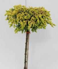 Можжевельник обыкновенный Goldschatz плакучий на штамбе 0,75-0,85м