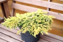 Juniperus Goldschatz