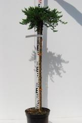 Можжевельник Greenmantleплакучий на штамб 0,9-1,05м