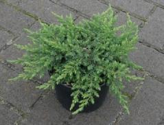 Juniperus Green Mantle
