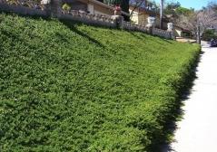 Juniperus communis Greenmantle/Green Mantle