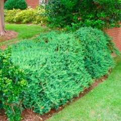 Можжевельник обыкновенный Greenmantle/Green Mantle