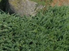 Juniperus communis Green Mantle
