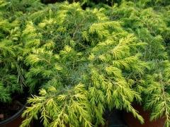 Можжевельник обыкновенный Депресса Ауреа / Juniperus communis Depressa Aurea