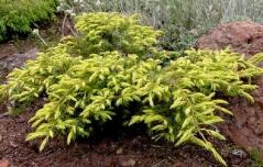 Juniperus Depressa Aurea