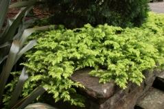 Можжевельник прибрежный Олл Голд <br>Ялівець береговий Олл Голд <br>Juniperus conferta Allgold / All Gold
