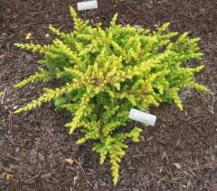 Juniperus conferta Allgold/All Gold