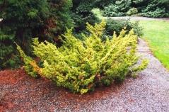 Можжевельник китайский Плюмоза Аурея/Ауреа <br>Ялівець китайський Плюмоза Аурея/Ауреа <br>Juniperus chinensis Plumosa Aurea