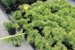 Можжевельник китайский Плюмоза Ауреа / Ялівець китайський Плюмоза Аурея / Juniperus pfitzeriana Plumosa Aurea