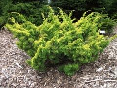 Juniperus chinensis Plumosa Aurea