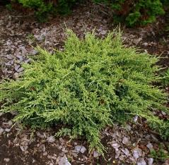 Можжевельник чешуйчатый Дрим Джой <br>Ялівець лускатий Дрім Джой <br>Juniperus squamata Dream Joy