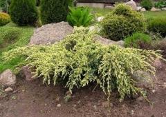Juniperus Dream Joy
