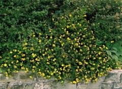 Лапчатка кустарниковая Танжерин <br>Лапчатка кущова Танжерін <br>Potentilla fruticosa Tangerine