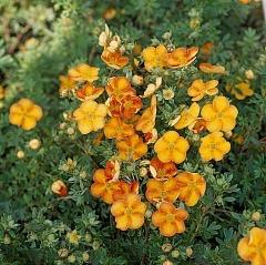 Лапчатка кустарниковая Tangerine