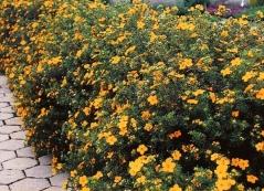 Лапчатка кустарниковая Танжерин живая изгородь