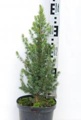 Канадская ель Коника Майголд купить Киев