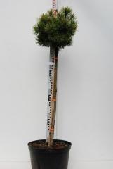 Сосна горная Офир на штамбе 0,75-1м