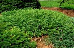 Можжевельник прибрежный Эмеральд Сиа <br>Ялівець береговий Емеральд Сіа <br>Juniperus conferta Emerald Sea
