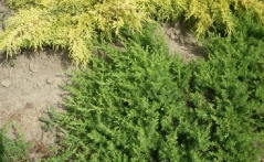 Juniperus conferta Emerald Sea
