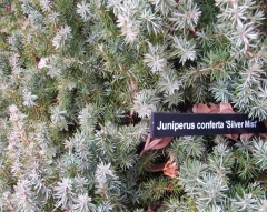 Можжевельник прибрежный Сильвер Мист / Juniperus conferta Silver Mist