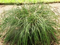 Thuja plicata / gigantea Whipcord