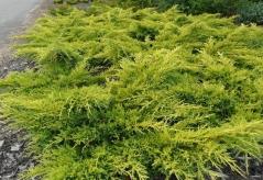 Juniperus рfitzeriana Goldkissen / Gold Kissen
