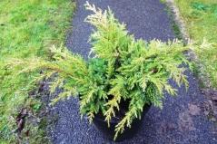 Juniperus рfitzeriana Goldkissen
