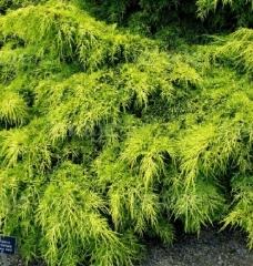 Juniperus рfitzeriana Carbery Gold