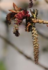 Populus nigra Italica цветение