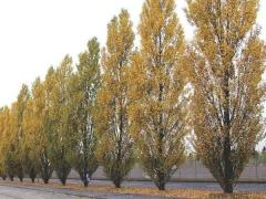 Тополь черный Итальянский осенью