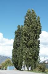 Тополь черный Italica