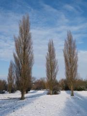 Тополь черный Италика / Тополя чорна Італіка / Populus nigra Italica в зимний перриод